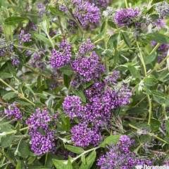 Buddleia Alternifolia Unique C 4L.
