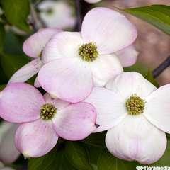 Cornus x rutgersensis 'Stellar Pink':pot 10L