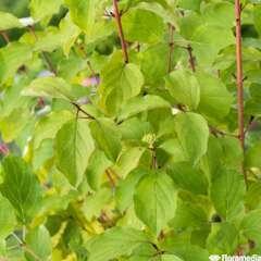 Cornus sanguinea 'Midwinter Fire':pot 4L