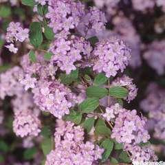 Deutzia x elegantissima 'Rosealind':pot 4L