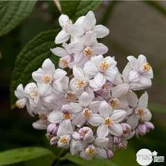 Deutzia x hybrida 'Mont Rose':pot 4L