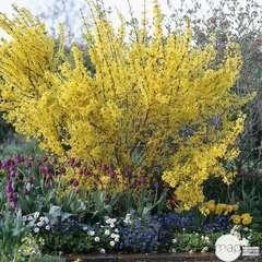 Forsythia x intermedia 'Lynwood Gold':pot 2L