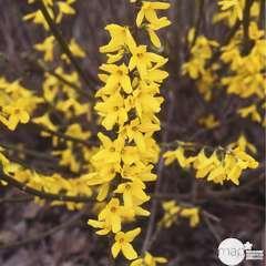 Forsythia x intermedia 'Mélée d'Or'®:pot 4L