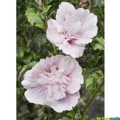 Hibiscus Pink Chiffon C.4L