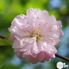 Prunus Amanogawa C.10L