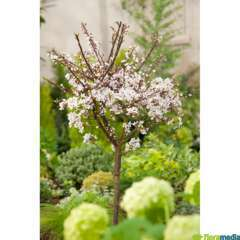 Prunus Cerasifera Hessei C.15L 1/2T