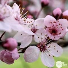 Prunus Ceras.Nigra C.7,5L