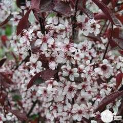 Prunus Cistena C.4L