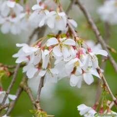 Prunus Ivensii C.7,5L