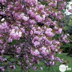 Prunus Serrulata K.Shidare C.15L
