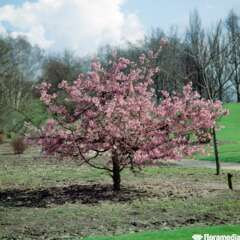 Prunus Kursar C.15L