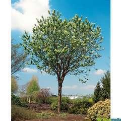 Prunus Maackii Amber Beauty C.7,5L