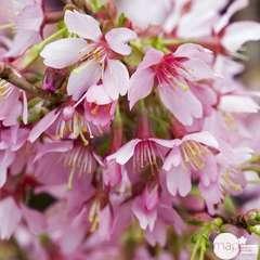 Prunus Okame C.4L