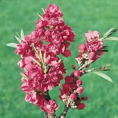 Prunus P. Peachy C.10L 1/4T