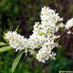 Prunus Padus Watereri C.15L