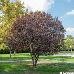 Prunus Pissardii Nigra C.15L 1/2T
