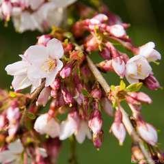 Prunus S.P.Rubra C.15L