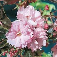 Prunus S.Royal Burgundy C.15L 1/2T