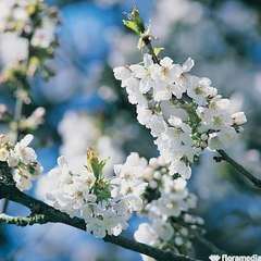 Prunus Serrulata Ukon C.15L