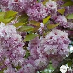 Prunus Subhirtella Autumnalis C.4L