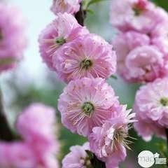 Prunus Triloba C.4L