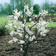 Prunus Persica White Peachy  C.10L
