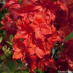 Azalea mollis 'Feuerwerk':pot 15L