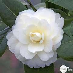 Camellia japonica 'Dahlonega':pot 15L