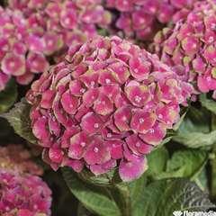 Hydrangea 'Amethyst Rouge':pot 5L
