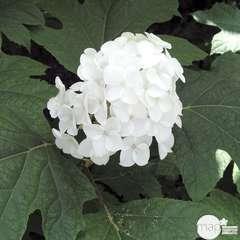Hydrangea quercifolia:pot 3L