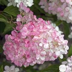 Hydrangea paniculata 'Vanille fraise':pot 15L