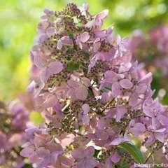 Hydrangea paniculata 'Wim'sRed':pot 15L