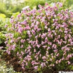 Rhododendron 'Myrtilloides':pot 2L