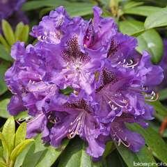 Rhododendron x 'Blue Boy':pot 25L