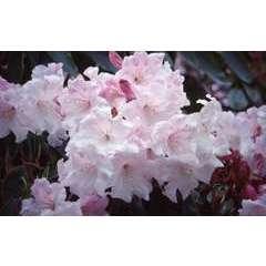 Rhododendron x 'Loderi King George':pot 25L