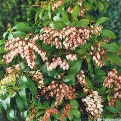 Pieris japonica 'Rosalinda':pot 7.5L
