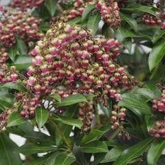 Pieris japonica 'Valley Valentine':pot 2L