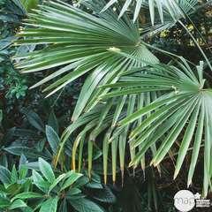 Trachycarpus fortunei:pot 10L