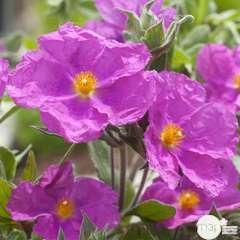 Cistus x pulverulentus:pot 2L