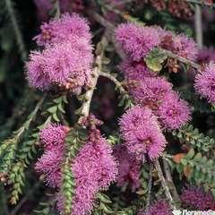 Melaleuca squamea:pot 4L