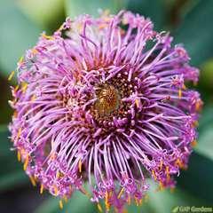 Melaleuca thymifolia:pot 4L