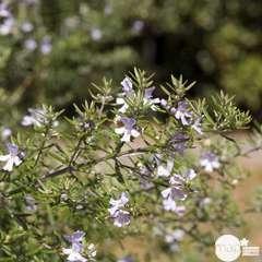 Westringia fruticosa:pot 4L
