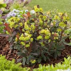 Euphorbia 'Efanthia'®:pot 4L