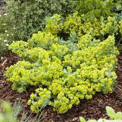 Euphorbia myrsinites:pot 4L