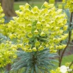 Euphorbia characias 'Wulfenii':pot 4L