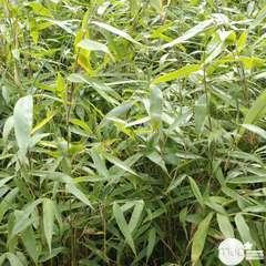 Fargesia robusta 'Pingwu':pot 3L