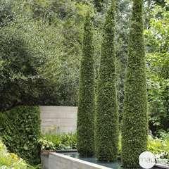 Thuja occidentalis 'Emeraude':pot 7.5L