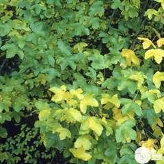 Acer Monspessulanum C10L.