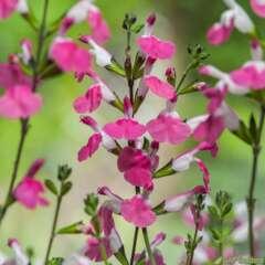 Salvia 'Pink Lips':pot 3L MDD