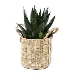 Succulentes, mix, en vannerie pot D9cm